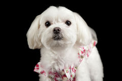 Maltese terrier headshot Stock Images