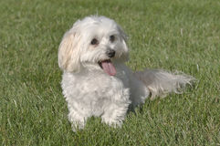 Maltese Toy Poodle Mixed Puppy Sitting In Grass. Maltese Toy Poodle Mix Puppy - Maltipoo stock image