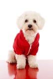 Maltese in vestito rosso Fotografia Stock