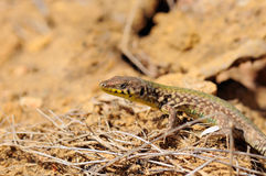 Maltese Wall Lizard Stock Image