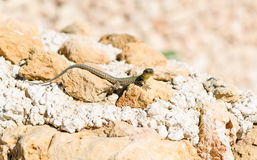 Maltese wall lizard Stock Photos
