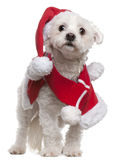 Maltese wearing Santa outfit. 3 and a half years old, standing in front of white background Royalty Free Stock Photos