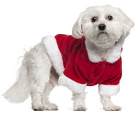 Maltese wearing Santa outfit, 5 years old. Standing in front of white background Royalty Free Stock Photo