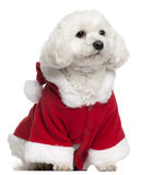 Maltese wearing Santa outfit, 5 years old. Sitting in front of white background Stock Photo