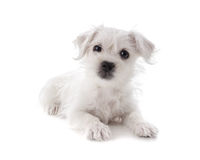 Maltese Westie puppy Royalty Free Stock Photography