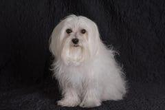 Maltese- white dog. Maltese Portrait posed on a black background Royalty Free Stock Photography