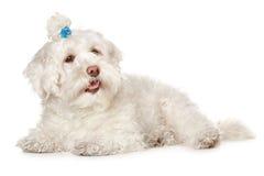 maltese white för bakgrundshund Royaltyfria Foton