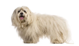 Maltese (7 years old) Royalty Free Stock Images