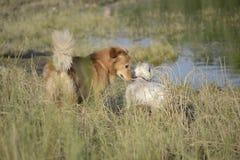 Malteser and golden retriever. Walk in the woods Stock Photography