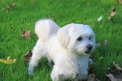 Malteser/maltés - mestizo del oeste de Higland Terrier fotografía de archivo libre de regalías