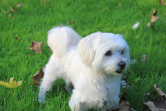 Malteser / Maltese - West Higland Terrier half-breed Royalty Free Stock Photography