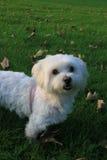 Malteser / Maltese - West Higland Terrier half-breed. Malteser - Maltese - West Higland Terrier half-breed Stock Photo