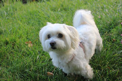 Malteser / Maltese - West Higland Terrier half-breed Stock Photos