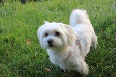 Malteser / Maltese - West Higland Terrier half-breed. Malteser - Maltese - West Higland Terrier half-breed Stock Photos