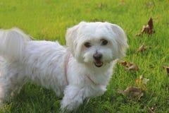 Malteser/maltesisches - West-Mischling Higland Terrier Lizenzfreie Stockfotografie