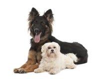 Maltesisch, 6 Jahre alt und Schäferhund-Hund Stockfotos