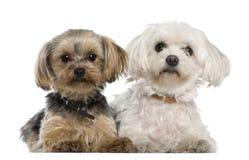 Maltesisch, 8 Jahre alt, Yorkshire-Terrier Lizenzfreies Stockbild
