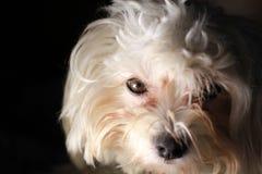 Maltesischer Hund auf schwarzem Hintergrund lizenzfreie stockfotografie