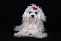 Maltesischer Hund gesessen auf schwarzem Hintergrund Lizenzfreie Stockfotografie