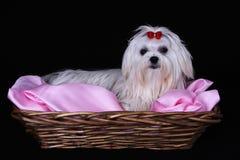 Maltesischer Hund im Weidenkorb Stockfotografie