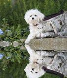 Maltesischer Hund mit Wasserreflexion Stockfotos
