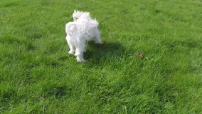 Maltesischer Hundespielen stock video footage