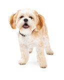 Maltesischer Mischungs-Zucht-Hund, der mit offenem Mund steht Stockfoto