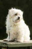Maltesischer Terrier Stockfoto