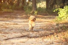 Maltesischer Terrier-Betrieb Lizenzfreie Stockbilder