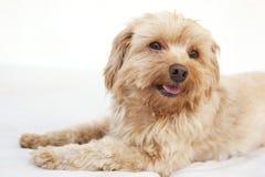 Maltesisches Terrier headshot stockbilder