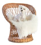 Maltesisk bichon på en vide- stol Royaltyfri Foto