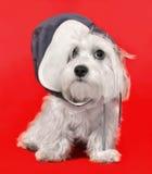 Maltesisk hund i ett lock Fotografering för Bildbyråer