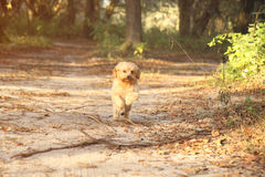 Maltesisk Terrier spring royaltyfria bilder