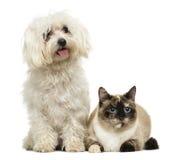 Maltesiskt flåsa och Birman katt fotografering för bildbyråer