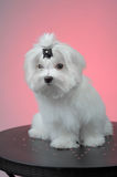 Maltesse puppy sitting on steel table. Over pink Royalty Free Stock Photo