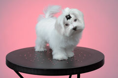 Maltesse puppy standing on steel table Royalty Free Stock Photos