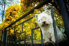 Malteze dog peeking through fence. A low angle view of a malteze dog peeking through an iron fence and looking at the camera Stock Photography