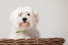 Maltezer in the basket. Happy dog photographed in the studio on a white background stock photos