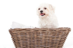 Maltezer in a basket. Happy dog photographed in the studio on a white background royalty free stock photo