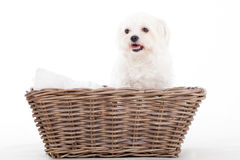 Maltezer in a basket. Happy dog photographed in the studio on a white background royalty free stock photography