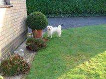 Maltezer dog in the garden. White maltezer dog in the garden with a plant Stock Photos