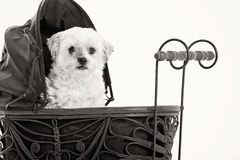 Maltezer in the pram. Happy dog photographed in the studio on a white background royalty free stock photos