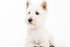 Maltezer on white. Happy dog photographed in the studio on a white background stock photos