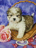 Malti-Poo Puppy. With pink roses, pearls, and rose petals standing in a basket Stock Images