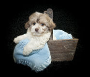 Malti-Poo Puppy. Sitting in a basket with a blue blanket on a black background Stock Photos