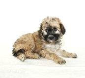 Malti-Poo Puppy. On a white background Royalty Free Stock Image