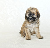 Malti-Poo Puppy. Sitting on a white background Royalty Free Stock Photos