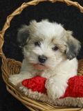 Malti-Poo Puppy. Little Malti-Poo puppy laying in a basket with his doy toy on a black background Royalty Free Stock Images