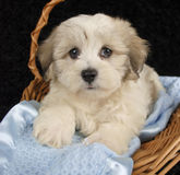 Malti-Poo Puppy. Laying in a basket on a blue blanket on a black background Royalty Free Stock Photo