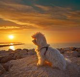Maltichon pet dog looking beach sunset royalty free stock image